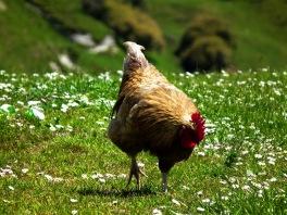 Fuji HS10 wild chicken